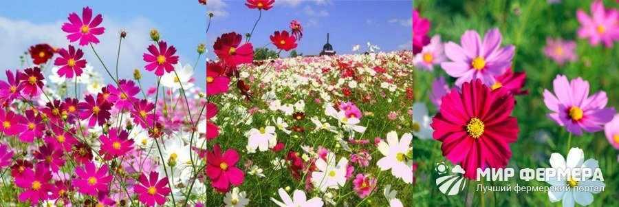 Как выглядит цветок космея