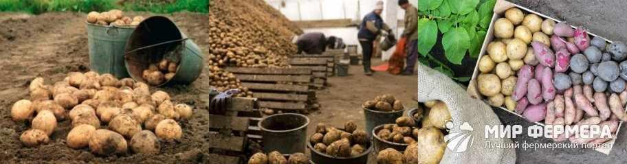 Подготовка картошки к хранению