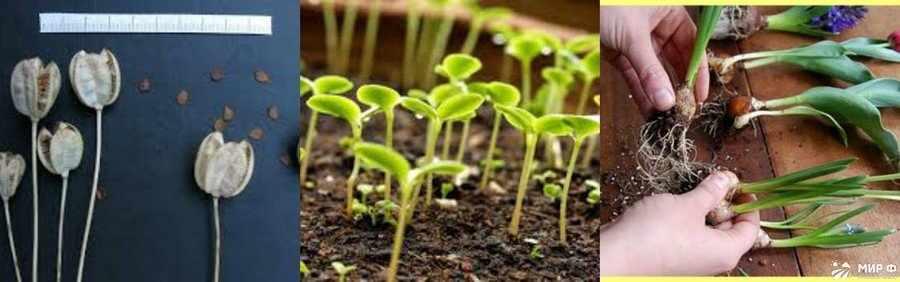 Размножение тюльпанов луковицами и семенами