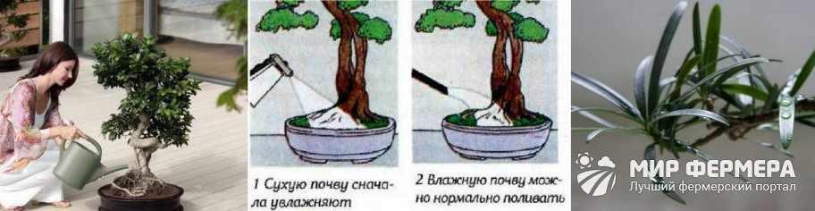 Как поливать бонсай