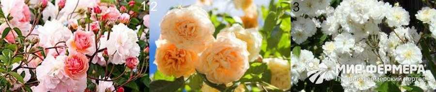 Сорта мускусных роз