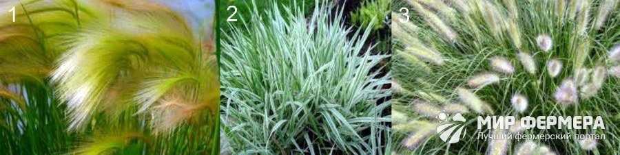 Среднерослые декоративные травы