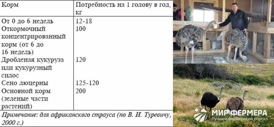 Сколько ест взрослый страус