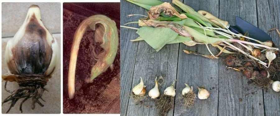 Августовская болезнь тюльпанов