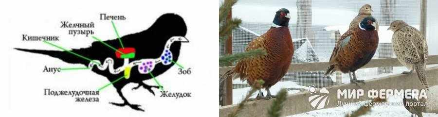 Закупорка зоба у птиц как лечить