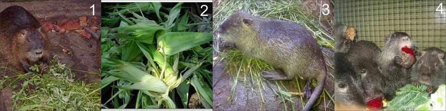 Зеленые корма для нутрий