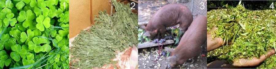Зеленые корма для свиней