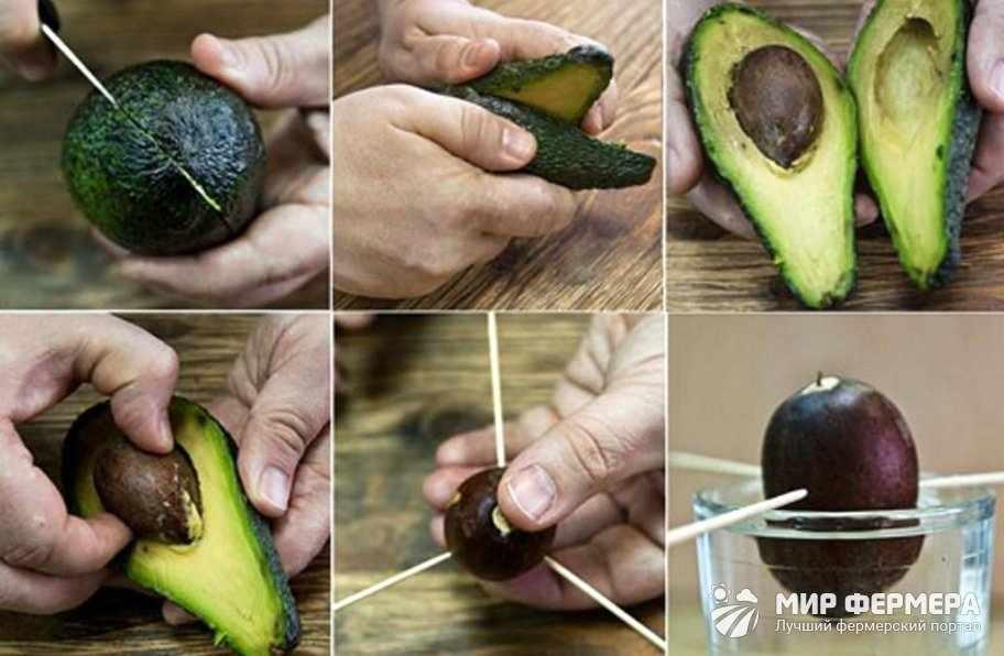 Как вырастить авокадо дома