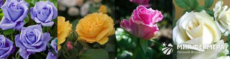 Все сорта роз с фото и названиями