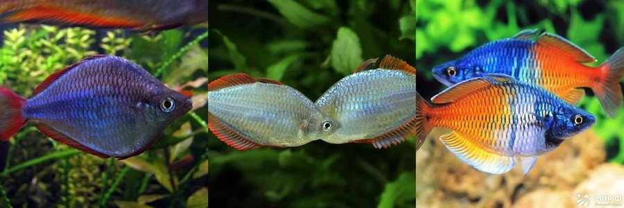 Радужница аквариумная рыбка