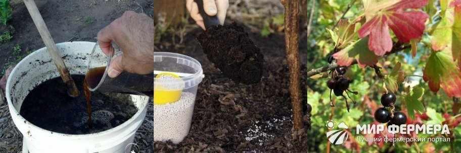 Удобрения для золотистой смородины