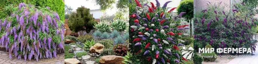 Будлея в саду