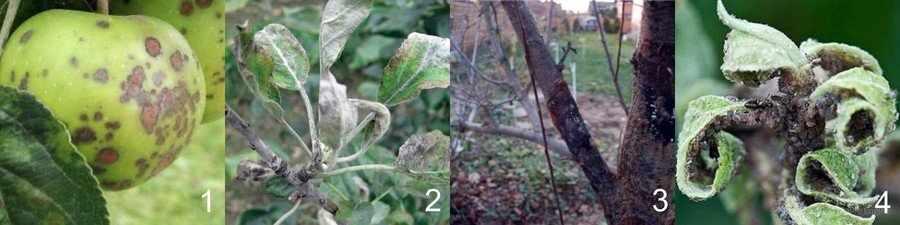 Болезни и вредители яблонь