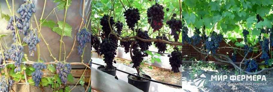 Уход за виноградом Кодрянка