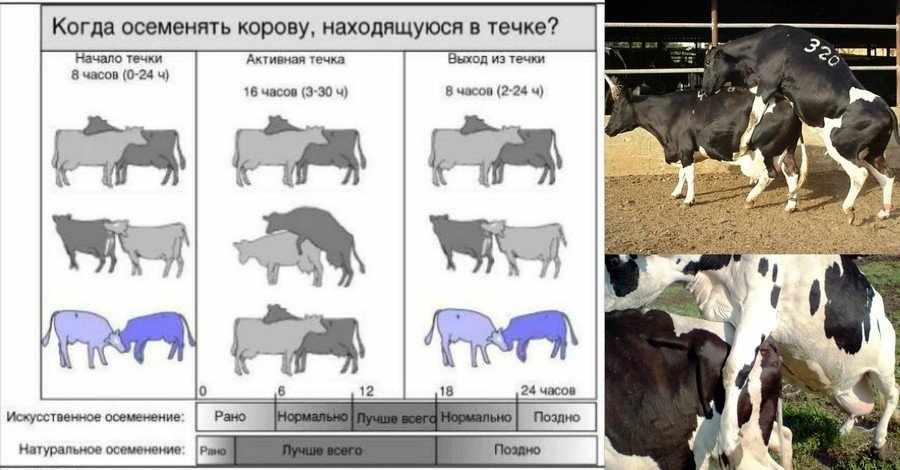 Охота у коров