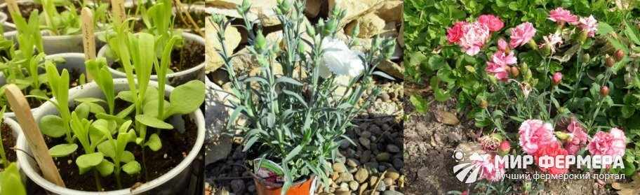 Выращивание гвоздики Шабо