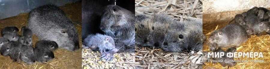Как выглядят щенки нутрии