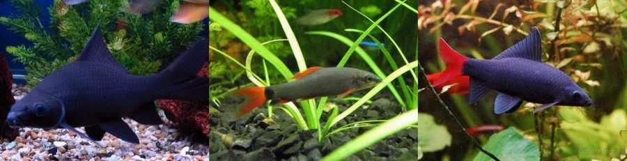 Рыбки лабео фото