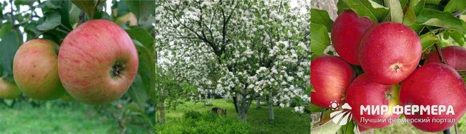 Яблоня Медуница описание