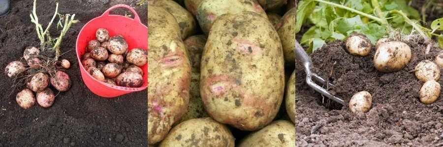 Луговской сорт картофеля