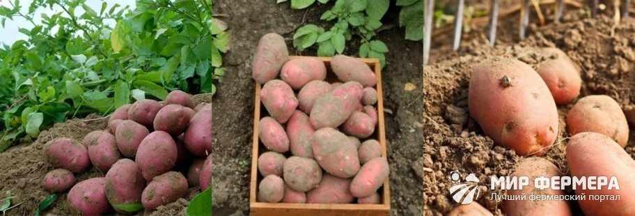 Сорт картошки Ред Скарлет