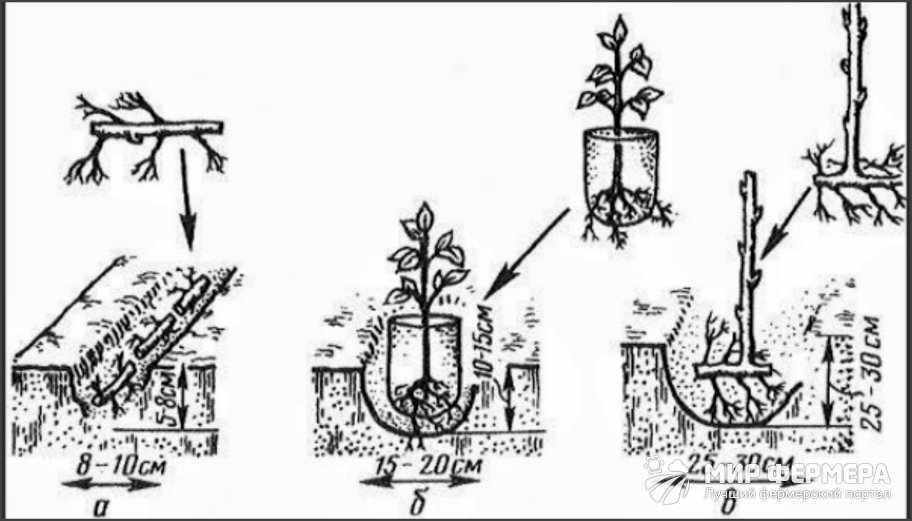 Как посадить ежевику Торнфри