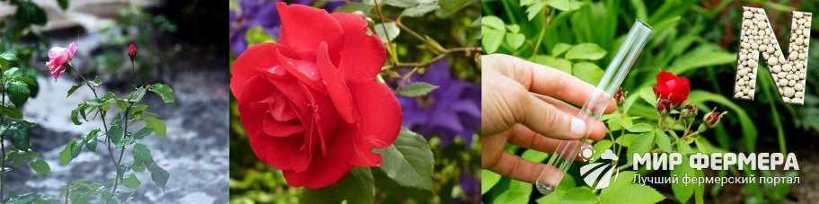 Зачем подкармливать розы