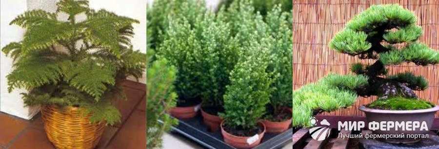 Комнатные растения в виде елочки