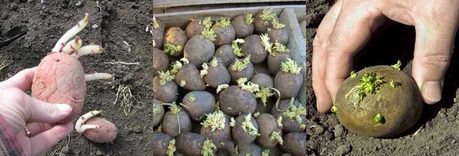 Картошка на посадку