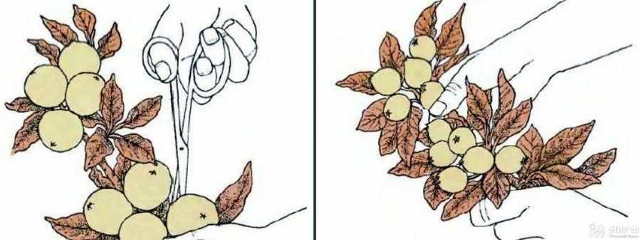 Прореживание плодов яблони