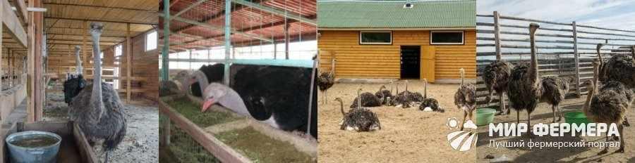 Где содержат страусов