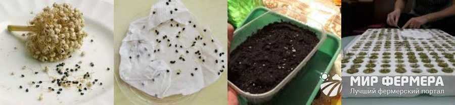 Лук порей посев семян