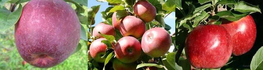 Яблоня Лобо фото