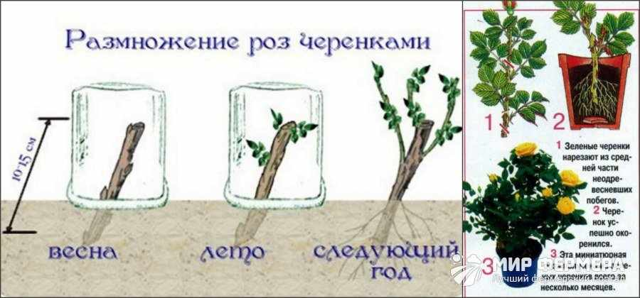 Зеленое черенкование роз