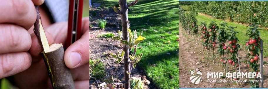 Размножение колоновидной яблони