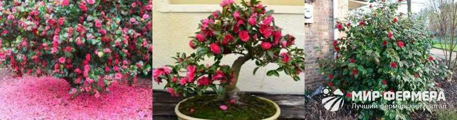 Камелия садовая фото и описание