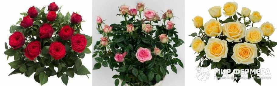 Роза Кордана фото