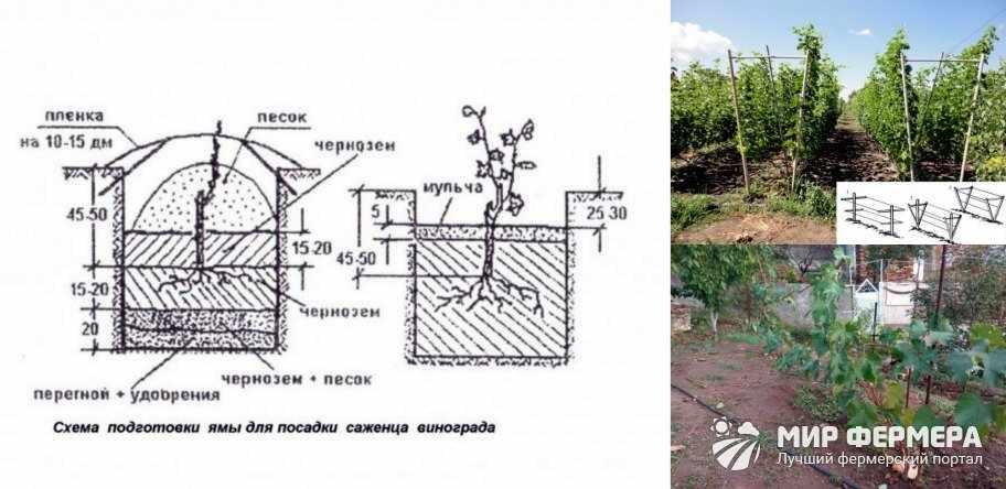 Схема посадки винограда