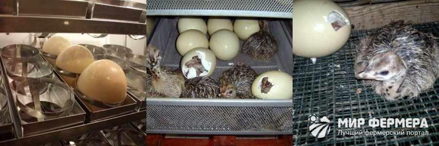 Инкубация страусиных яиц