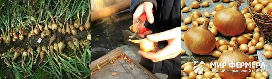 Как хранить лук