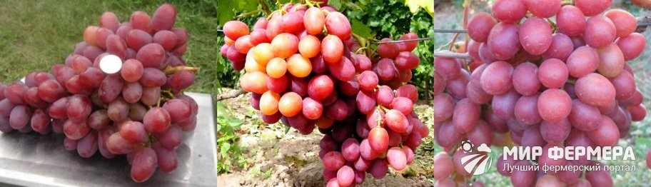 Виноград Анюта особенности