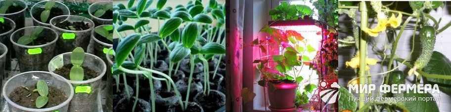 Выращивание огурцов в квартире