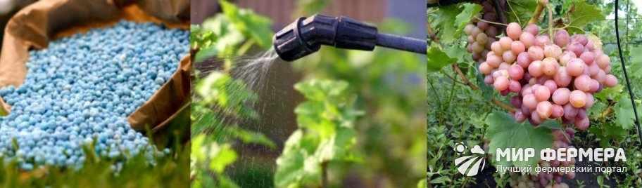 Как поливать виноград во время засухи