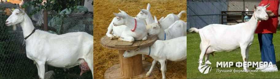 Зааненские козы фото
