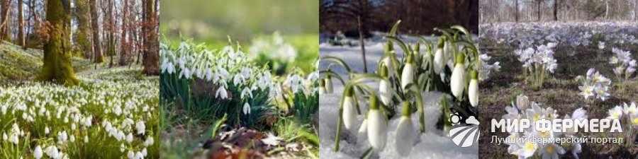 Фото подснежников весной