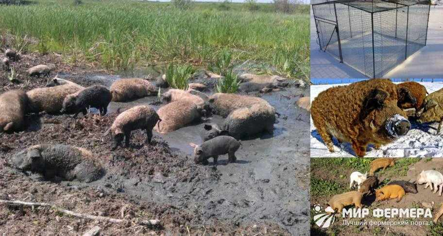 Содержание свиней породы кармалы