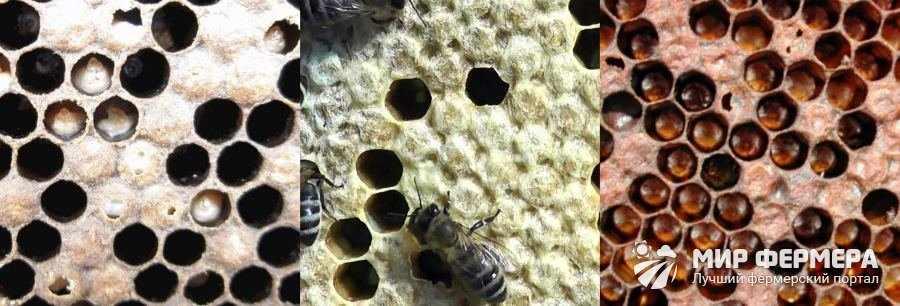 Заразные болезни пчелиного расплода