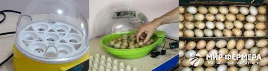 Яйца фазанов в инкубаторе