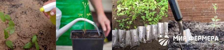 Размножение клематиса семенами