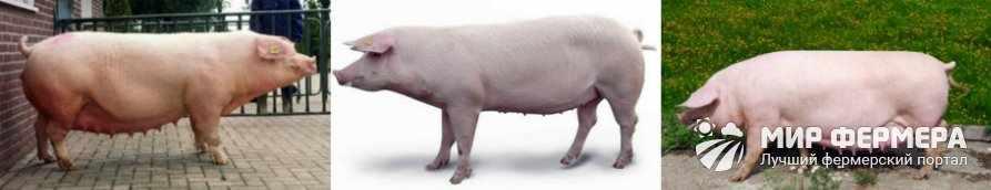Порода свиней ландрас